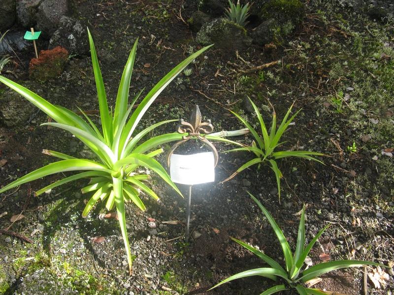 New pineapple starts